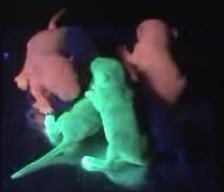 荧光蛋白观察镜下的图片