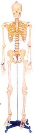人體解剖模型|168CM人體骨骼模型(男、女) GD-0101A