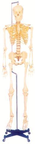 人體解剖模型|168CM人體骨骼模型 GD-0101F