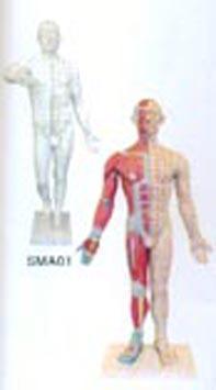 中醫人體針灸模型|十四經穴電動針灸模型 SME131