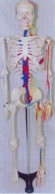骨骼解剖模型|人體骨骼附主要神經與主動脈靜脈模型 GD-0113F