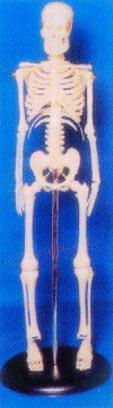 人體解剖模型|45CM人體骨骼模型 GD-0121A