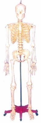 人體骨骼模型|128CM人體骨骼模型 GD-0101R1