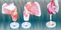 髖肌解剖模型|上海私人红杏影院hxsptv在线观看科教設備有限公司 SMD042