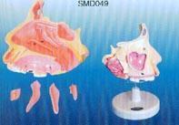 鼻腔解剖放大|上海红杏视频下载安装黄科教設備有限公司 SMD049
