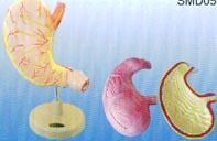 胃解剖|上海红杏成版人app下载科教設備有限公司 SMD050
