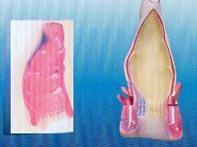 直腸解剖及靜脈分布模型|上海红杏视频永久科教設備有限公司 SMD0521