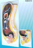 腹膜(矢狀切麵) | 上海红杏视频app下载科教設備有限公司 SMD073