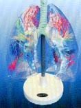 透明肺段模型|上海红杏视频永久科教設備有限公司 SMD061