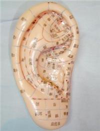人體針灸模型(耳針穴模型.耳針穴位模型23CM)|上海红杏成版人app下载科教設備有限公司  H025-2