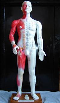 半皮膚人體針灸模型(十四經穴模型68CM)|上海红杏视频在线播放网址科教設備有限公司  H015