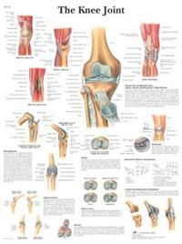 The Knee Joint 标准大小