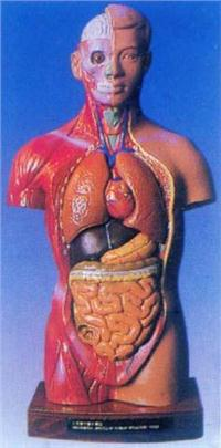 人體解剖模型|28CM男性彩色軀幹模型 GD-0208A