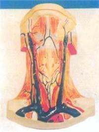 人體解剖模型|人體頸部肌肉局部解剖模型 GD-0305J