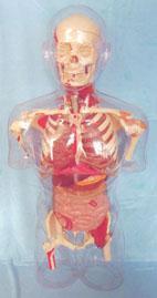 人體解剖模型|上等透明半身軀幹可見骨骼、內髒、肌肉模型 KAH-G10002
