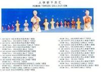 人體解剖模型|男性軀幹解剖模型28CM GD-0208A