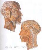 私人红杏影院hxsptv在线观看教學模型|頭部正中矢狀切麵附血管神經模型 GD/A18210