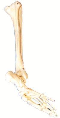 红杏视频app下载解剖模型|足骨、腓骨與脛骨模型 GD/A11132