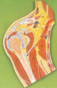 解剖教學模型|肩關節剖麵模型 GD/A11202