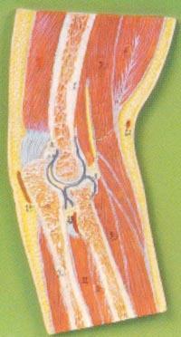 解剖模型|肘關節剖麵模型 GD/A11203