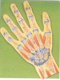 解剖模型|手關節剖麵模型 GD/A11204