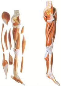 解剖教學模型|下肢肌肉附主要血管神經模型 GD/A11308