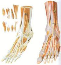 私人红杏影院hxsptv在线观看培訓模型|足肌附主要血管神經模型 GD/A11309