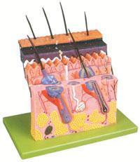 上等解剖模型|皮膚層次切麵放大模型 GD/A41001