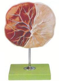 红杏视频下载安装黄解剖模型|胚胎臍帶模型 GD/A42010/1