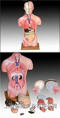 人体躯干模型|男性躯干模型13件  CBB-XC-202A