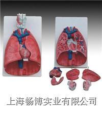 喉、心、肺模型  XC-320