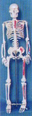 人体解剖模型|85CM人体骨骼半边肌肉着色并编码模型 GD-0114H