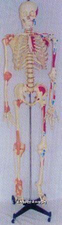 168CM高人体骨骼右关节韧带左边肌肉着色并编码模型 GD0101G10