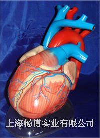 心脏模型|心脏解剖模型|心脏放大模型 CBB-XZ