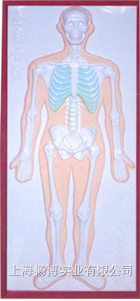 人体解剖模型|浮雕模型|骨骼系统浮雕模型 CLM2079-1
