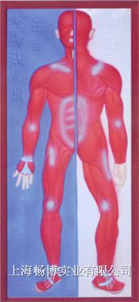 浮雕模型|九大系统模型|医学模型之肌肉系统浮雕模型 CLM2079-2