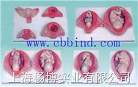 胎儿妊娠发育过程模型|胎儿生长发育过程模型 CBB-5046