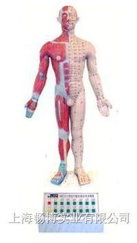 电动语音医学教学模型|十四经穴针灸电动模型(语音提示) SME13