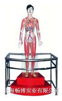 电动医学教学模型|微电脑人体心动周期与大.小循环演示模型 SME09