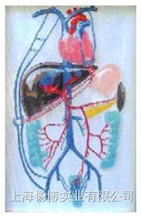 医学教学用品|门静脉侧支循环电动模型 SME06
