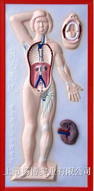 医学浮雕模型|**系统浮雕模型 CLM2079-6