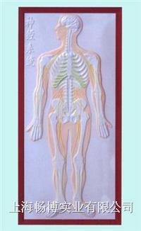 人体浮雕模型|神经系统及***腺浮雕模型 CLM1160-7
