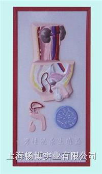 医学浮雕模型|男性泌尿生殖系统浮雕模型 CLM2079-8