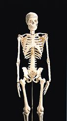 85cm人体骨骼模型
