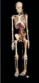 85cm骨骼附神經模型