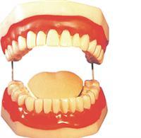 人體模型、口腔保健模型(配牙刷) SX-315