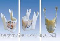 下頜骨解剖模型 SX-617