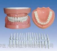 可卸式有根標準牙模型 SX-622