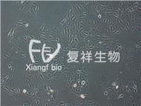 CCL-33 PK-15 豬腎細胞系 CCL-33