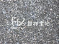 HSC-T6 大鼠肝星形細胞 HSC-T6